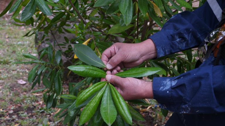 Native species - Canelo - Foye (Drimys winteri), jardín de nativos, La Providencia, Traiguén © Aldir Polymeris